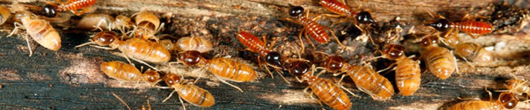 termite-info
